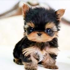 Yorkie puppies/Mini Tea Cups on Adoption.