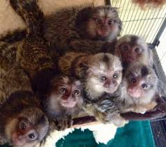 Exotic Pets: Monkey for sale