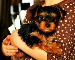 Male and Female Yorkie Puppies For Sale