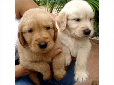 Akc reg Golden Retriever puppies looking ror thier new homes