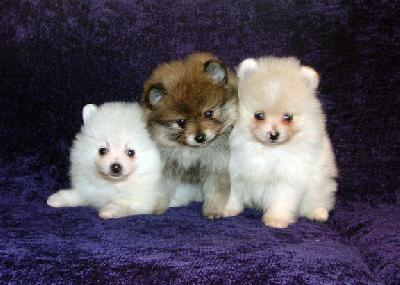 Cute and Charming Pomeranian Puppies Available Text (701) 660-2572