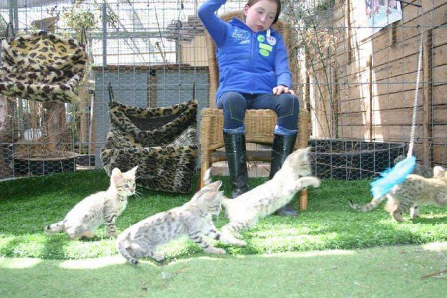 Caracals, Ocelot,cheetahs, Serval And F1 Savannah Kittens