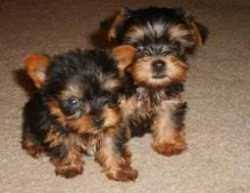 X-mass Teacup Yokie puppies for adoption