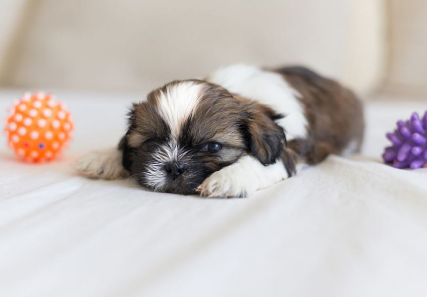 Better Shih Tzu Puppies
