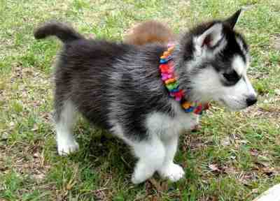 Magnificent Healthy Blue Eyes Siberian Husky Puppies Ready