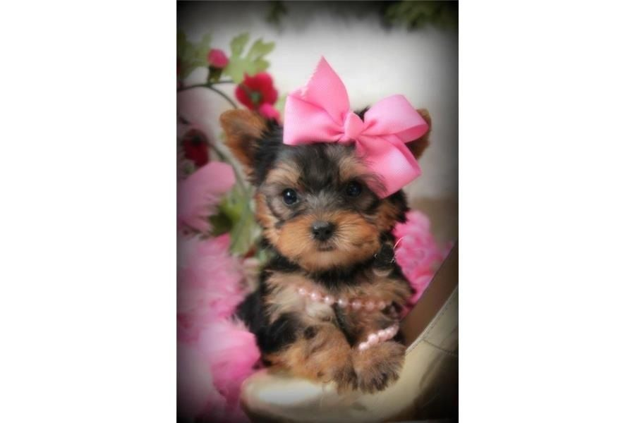 Adorable Yorkie Puppies For Adoption (205) 212-1936