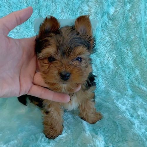Male Yorkie puppy looking for good and loving