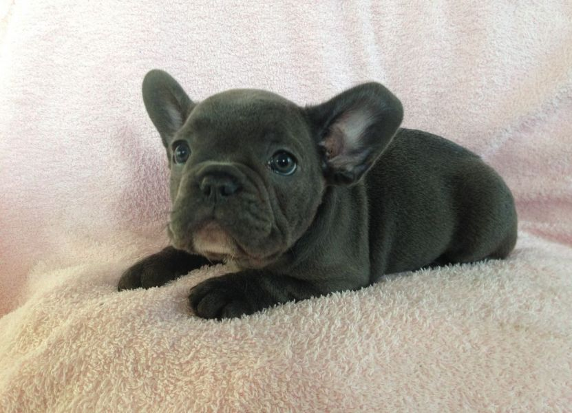 Blue Pied French Bulldog Puppies