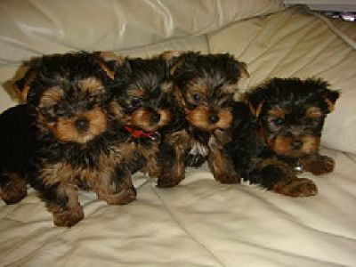 Available Teacup Yorkie puppies for Free home adoption