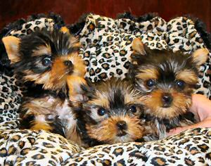 Gorgeous teacup yorkie puppies for free adoption