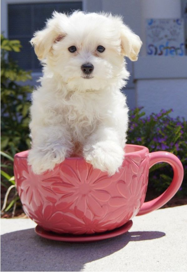 Lovely teacup maltese puppy for free adoption
