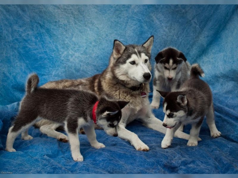 Male and  Female  Male Siberian husky puppies!