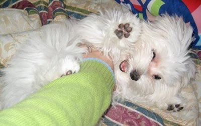 GORGEOUS AND TRAINED MALTESE PUPPIES FOR ADOPTION.