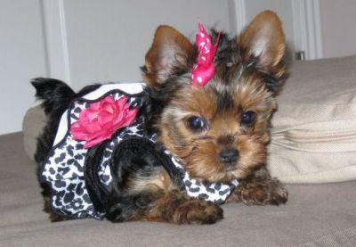 Extremely cute teacup Yorkie puppies available for re homing