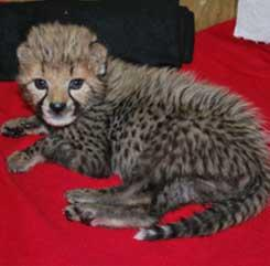 MALE AND FEMALE CHEETAH CUBS FOR SALE ALL HOME RAISED BY MY FAMILLY