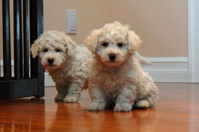 Two White Bichon Frise Puppies for Sale