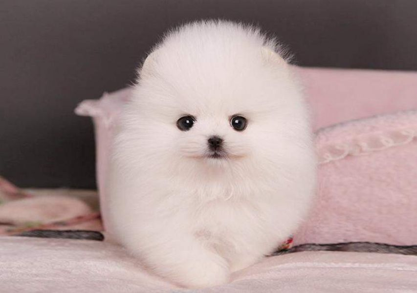 We have male and female Pomerania puppies for re-homing.