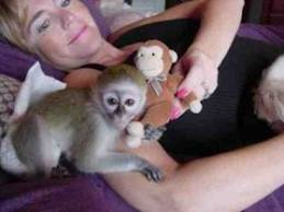 Cute female capuchin monkeys for adoption