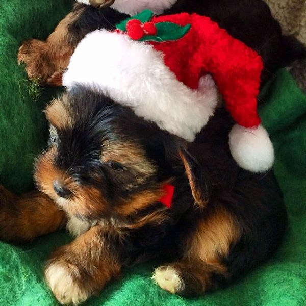 Gorgeous Teacup Yorkie puppies,