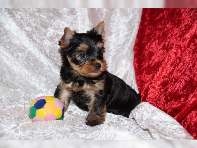 Male and female Yorkie puppies to loving and caring homes.