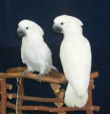 Sweet Umbrella Cockatoo birds for Adoption