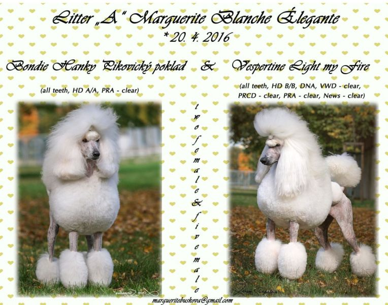 Royal Standard Poodle white with pedigree