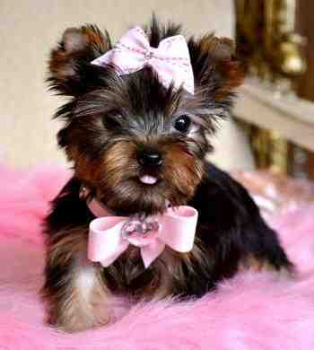 Akc Register Yorkie Puppies for adoption
