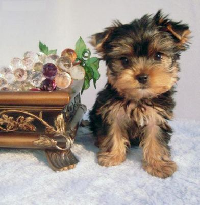 Clean male and female Yorkshire terrier puppies pending a home.