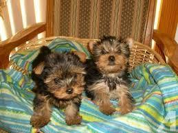 Male and Female Yorkie Puppies For Sale.