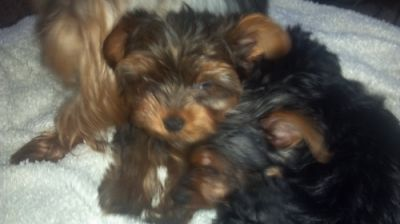 My Pretty Yorkies For Adoption