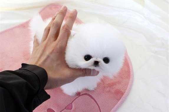 Beautiful teacup/tiny toy white Pomeranian puppy