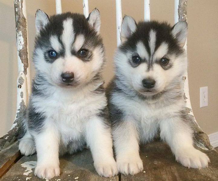 M/F Male and Female Most Beautiful Siberian Husky Puppies