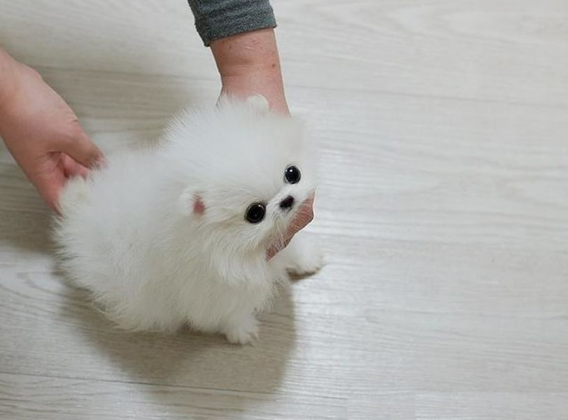 Micro Teacup Platinum Quality White Pom! (813) 279-8272