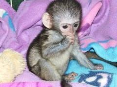 Active And Milky Baby Capuchin Monkeys For Adoption
