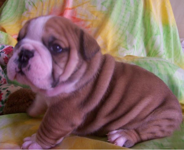 English bulldog pups available