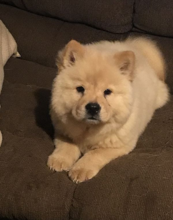 Available Chow Chow Pups For adoption