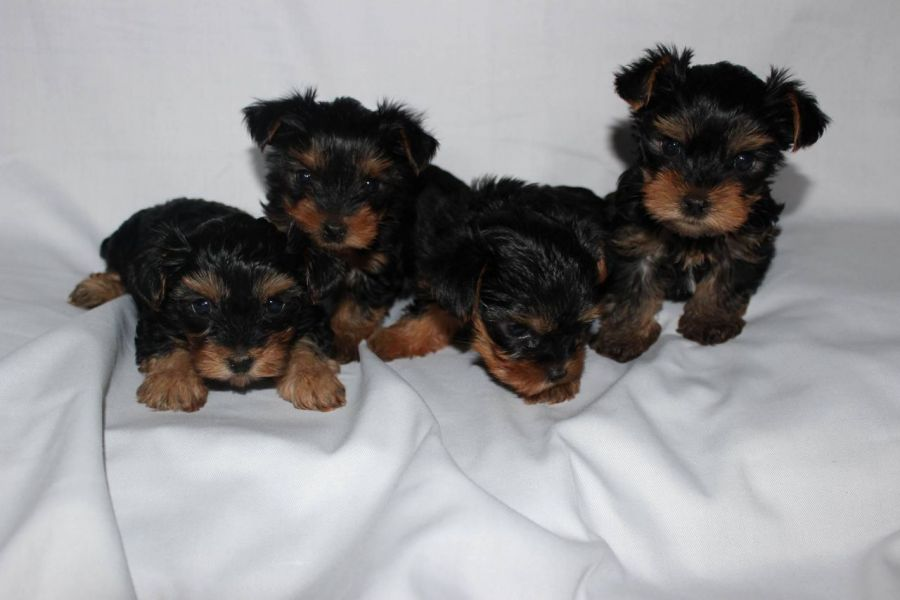 Gorgeous Teacup Yorkie Puppies Available Text (267) 417-6765
