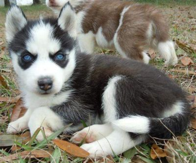 New Siberian husky pups for free adoption
