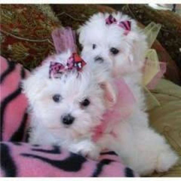 Loving and Charming Maltese Pups