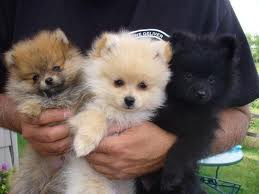 Look no further, get a Pomeranian puppy here now