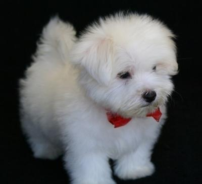 Lovely Maltese puppies for good home ONLY