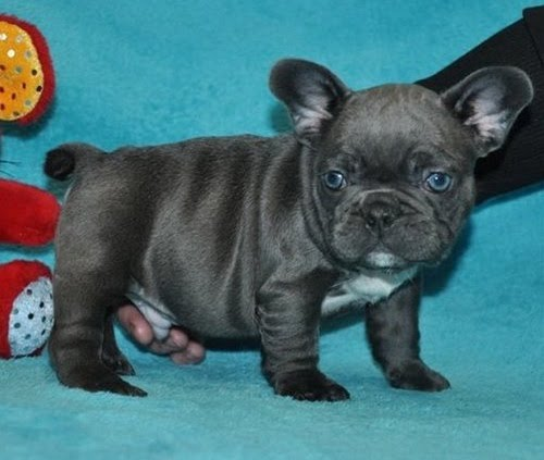Pure breed Blue French Bulldog puppies Text Us At (503) x 389 x 3196 )