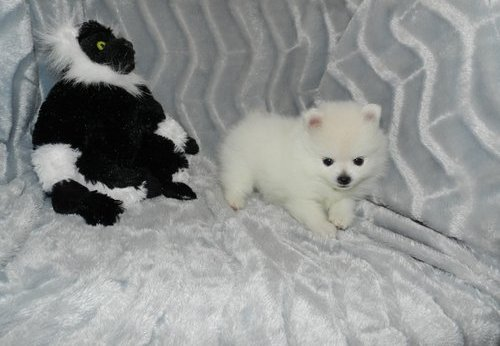 Amazing White Pomeranian Puppies