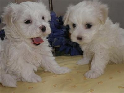 Adorable AKC registered maltese puppy