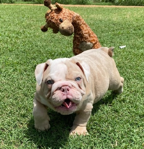 We have 2 cute of AKC registered male and female English Bulldog Puppies with all their papers