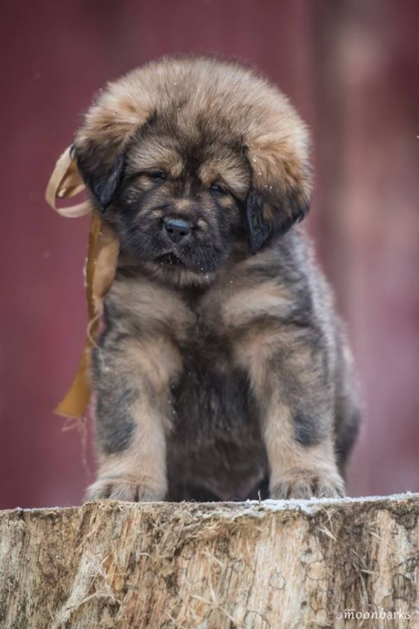 Tibetan Mastiff with FCI pedigree
