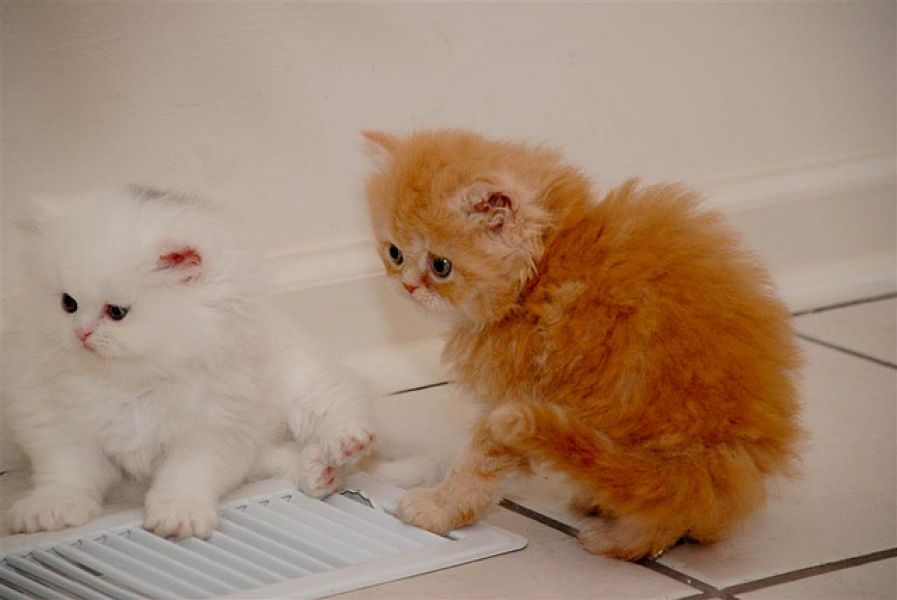 Persian Kittens. Available Male and female Persians yellow with copper ...