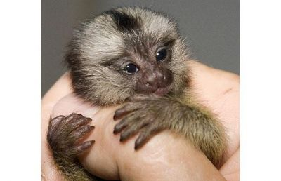 PET-FRIENDLY BABY MARMOSET MONKEY FOR SHELTER