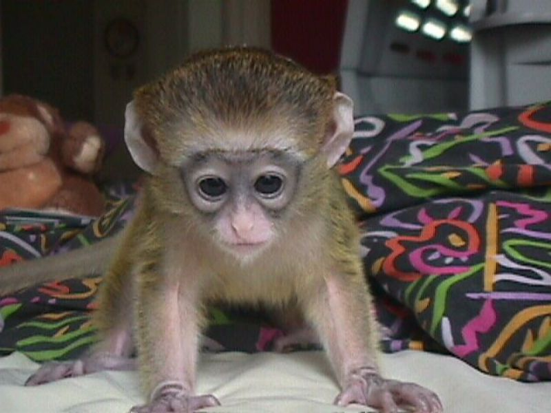 Beautiful Capuchin, monkeys for adoption .