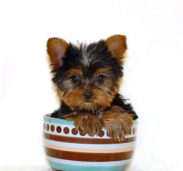 X-mas tea cup Yorkie puppies for adoption